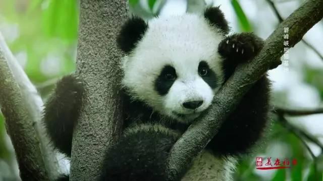 雅安大熊猫